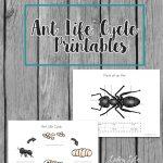 Ant Life Cycle Printable