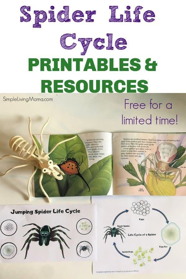 Spider Life Cycle Printables